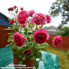 Miniature Gardening Com Cottages C 2 Miniature Gardening Com Cottages C 2 Rosie U0027s Cottage A Happy New Home For Our Beautiful Miniature Roses