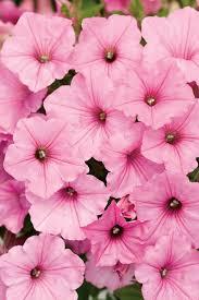 petunia flowers supertunia vista bubblegum petunia hybrid proven winners
