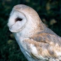 North American Barn Owl Barn Owl Ontario Ca