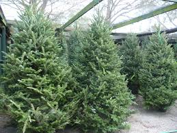 live christmas trees now available live christmas trees wreaths garlands more