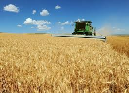 montana wheat nears harvest good shape declining