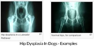 belgian shepherd hip dysplasia signs of hip dysplasia in dogs supplement treatment