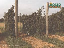 trellising hops u2013 design options and agricultural benefits