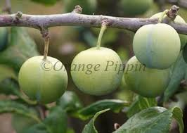 green gage plum trees for sale buy friendly advice
