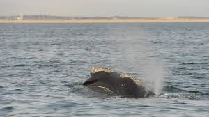 right whales spotted off nantucket news capecodtimes com