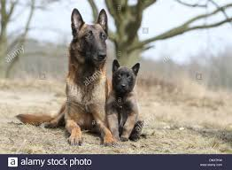 belgian shepherd 2 months cute lovely adorable two deux 2 several together with and family