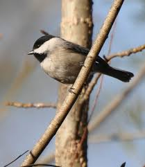 South Carolina birds images Sc south carolina bird pictures page perching birds jpg