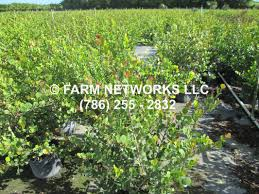 south florida native plants red tip cocoplum homestead hedge plants 786 255 2832 we deliver