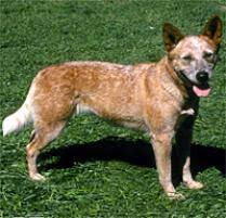 australian shepherd rescue san diego and friends adopt an australian cattle dog dog breeds petfinder