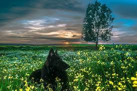 belgian sheepdog forum free photo belgian sheepdog dog black free image on pixabay