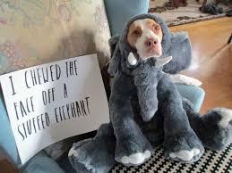 Dog Shaming Meme - despite online dogshaming memes experts say pooches don t feel