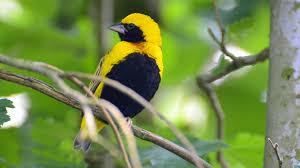 stunning attractive beautiful yellow bird wildlife