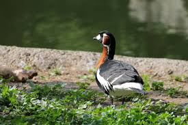 birds ruficollis goose red bird breasted branta free animated
