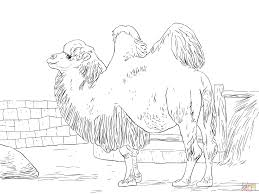 domesticated bactrian camel coloring page free printable