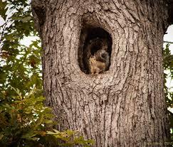 White Oak Tree Bark Squirrels In Tree Holes Squirrel In An Oak Tree Knot Jpg Trees