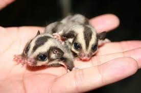 Gliders For Sale Here U0027s A Couple Of Baby Sugar Gliders Aww