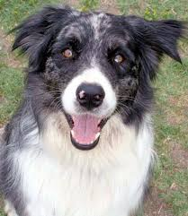bearded collie and border collie mix collie mix
