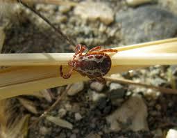 ticks backyard zoologist