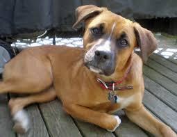 boxer dog health questions boxer u0026 beagle mix a k a boggle dog u2013 breed info