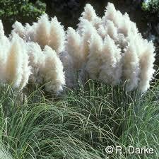 104 best fl ornamental grass images on ornamental