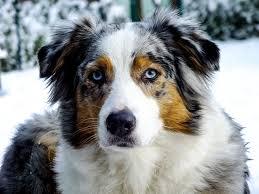 australian shepherd blue eyes 60 best pictures of australian shepherd dog