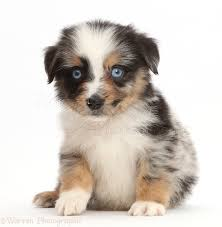 australian shepherd uk dog blue eyed tricolour merle mini american shepherd puppy photo