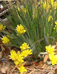 australian native climbing plants native grasses u2014 plants plus cumberland forest