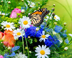 monarch butterfly butterflies roses flowers camomiles
