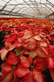 poinsettias potted indoor flowers holiday plant care rocket farms