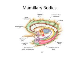 Google Body Anatomy Hippocampus Anatomy Mammillary Body Google Search Neuroanatomy