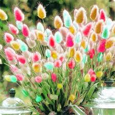 100 ornamental grasses seeds bunny tails lagurus ovatus adorable