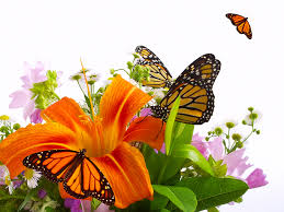 monarch butterfly insects butterflies lilies flowers