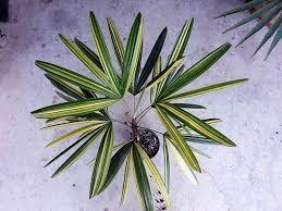 rhapis excelsa palmpedia palm grower u0027s guide