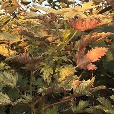 acer pseudoplatanus prinz handjery sycamore tree mail order