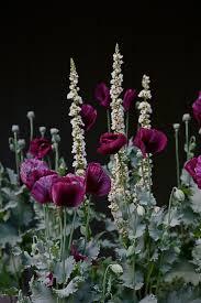 100 Best Gray U0026 White by 100 Best Dark Plants Grey Black White Garden Images On Pinterest