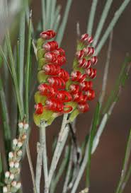 what plants are native to australia 28 best australian natives images on pinterest native plants
