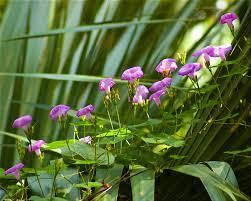 florida native aquatic plants florida native photography morning glory