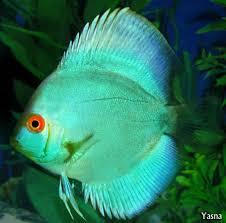 most beautiful freshwater fish all time ratemyfishtank com