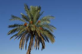 what is palm tree wood used for hunker