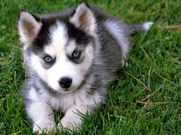 siberian husky breed guide learn about the siberian husky