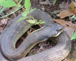 snake sunning by pond oklahoma outdoors pinterest