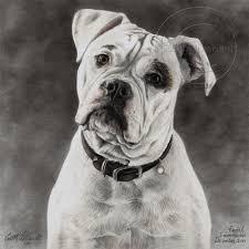 sketches for american bulldog sketch www sketchesxo com