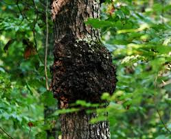 diseases of cherry trees what to do when a cherry tree looks sick
