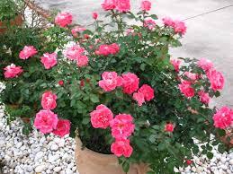 mardi gras roses newbie advice for floribunda mardi gras lovestruck