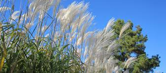 dig deeper into grasses in the genus miscanthus