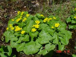 maine native plants flowering and seed collection dates of maine plants