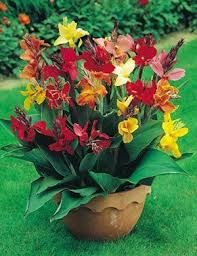 best 25 canna lily ideas on pinterest tropical backyard