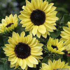 best 25 black sunflower seeds ideas on pinterest quail feed