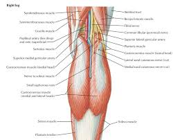 Picture Of Human Knee Muscles Popliteal Fossa Anatomy And Contents Bone And Spine