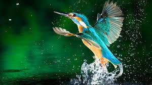 kingfisher bird hd wallpapers free download 1080p birds